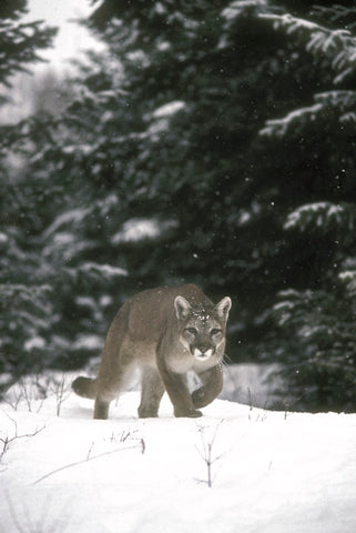mountain lion stalking photo by jan l wassink montana living