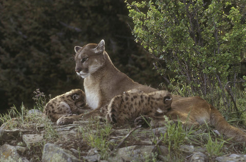 mountain lion with kittens photo by jan l wassink