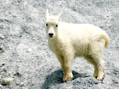 A young mountain goat at Goat Lick in Glacier National Park. David Reese photo