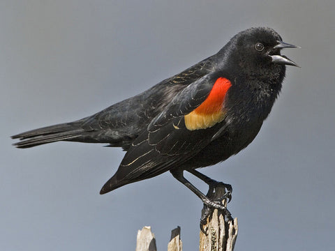 montana living redwinged blackbird ryan rauscher montana department of fish wildlife and parks