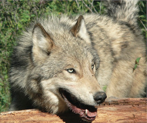montana wolf trapping course in kalispell, montana living, montana furharvesters