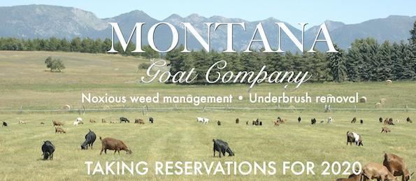 montana goat company noxious weed management with goats