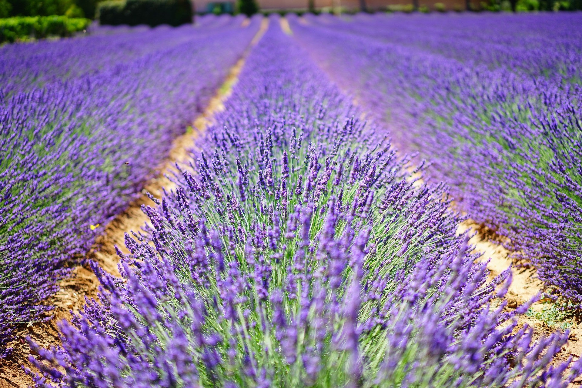 The Super Powers of Lavender