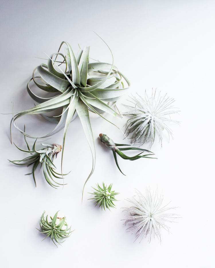 All You Need To Know About Tillandsia Air Plants