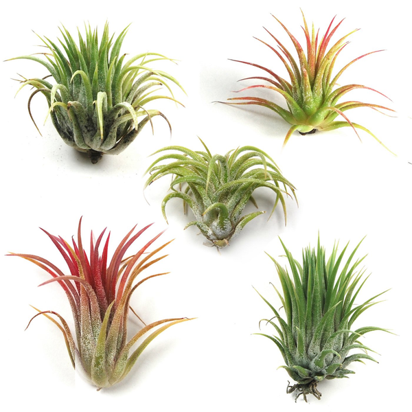 Guide to Air Plant care