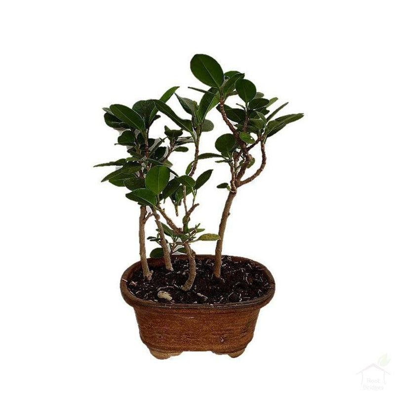 Ficus Bonsai-Foliage Plants-Root Bridges