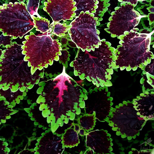 Seeds Coleus Rainbow Seeds