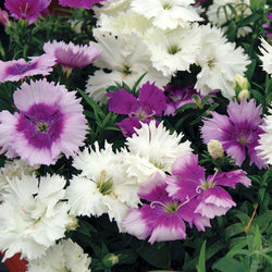 Seeds Dianthus Flower Seeds