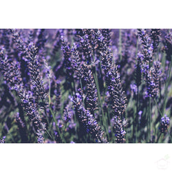 Seeds Lavender Flower Seeds