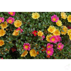 Seeds Portulaca Flower Seeds