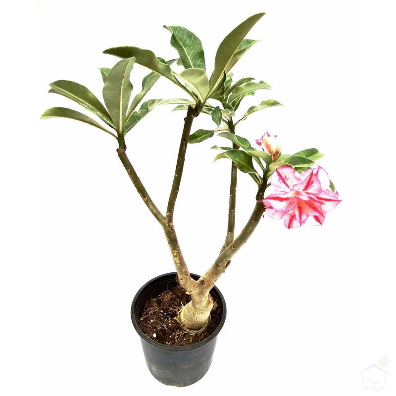 Flowering Plants Adenium (Assorted Colours)