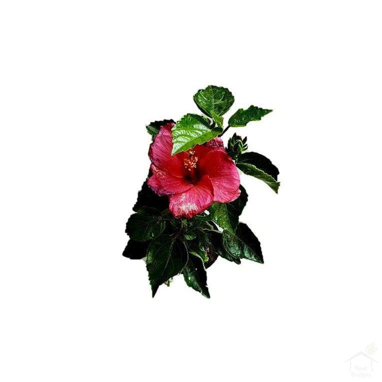 Flowering Plants Hibiscus Plant (Assorted Colours)