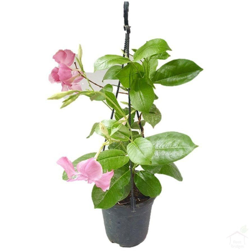 Flowering Plants Pink Mandevilla
