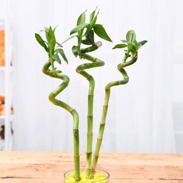Foliage Plants 30 cm Spiral Lucky Bamboo Stick (Pack of 3)
