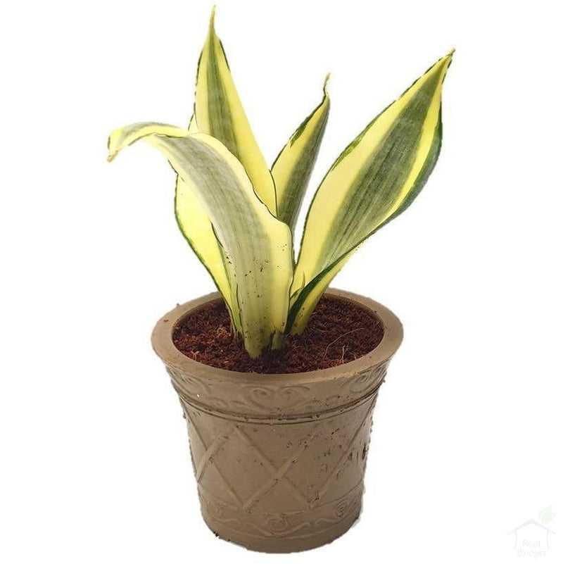 "Foliage Plants 4"" Biodegradable Pot Snake Plant 'Gold Dust'"