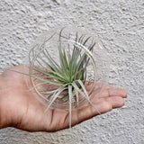 "Foliage Plants 4"" Glass Globe Tillandsia 'Cotton Candy' Air Plant"