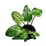 "Foliage Plants 4"" Plastic Pot African Hosta Plant"