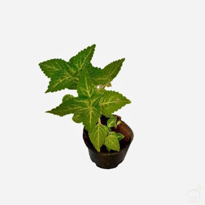 "Foliage Plants 4"" Plastic Pot Golden Coleus"
