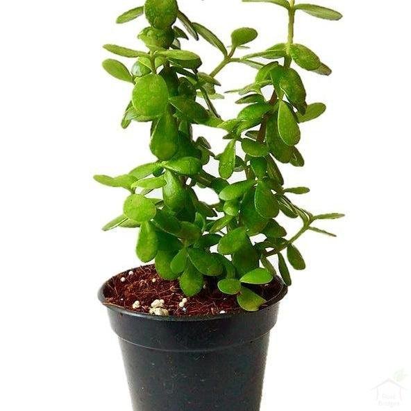 "Foliage Plants 4"" Plastic Pot Green Jade Lucky Feng Shui Plant"