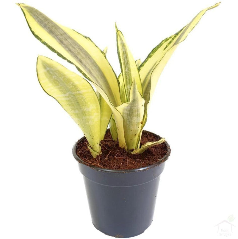 "Foliage Plants 4"" Plastic Pot Snake Plant 'Gold Dust'"