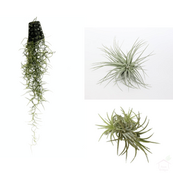 Foliage Plants Air Plant Pack (3 Plants)