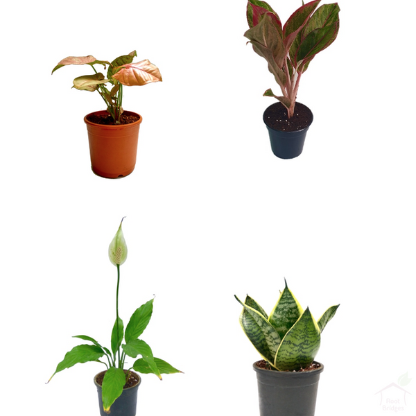 Foliage Plants Air Purifier Plant Pack (4 Plants)