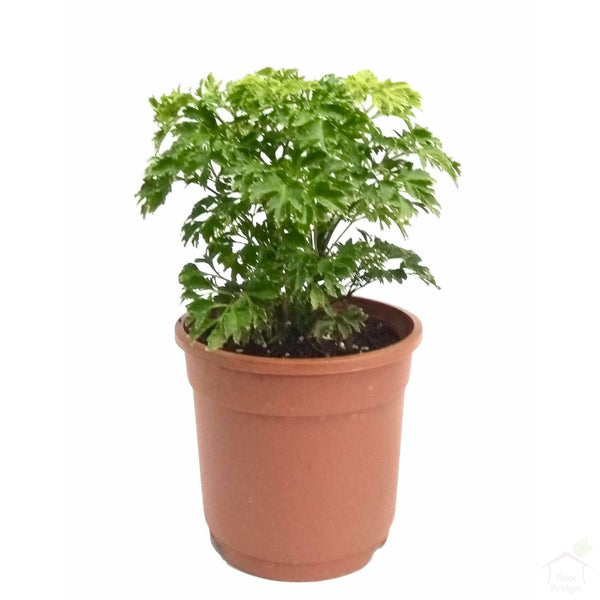 Foliage Plants Aralia Indoor Plant