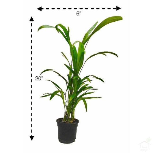 Foliage Plants Areca Palm Indoor Clean Air Plant