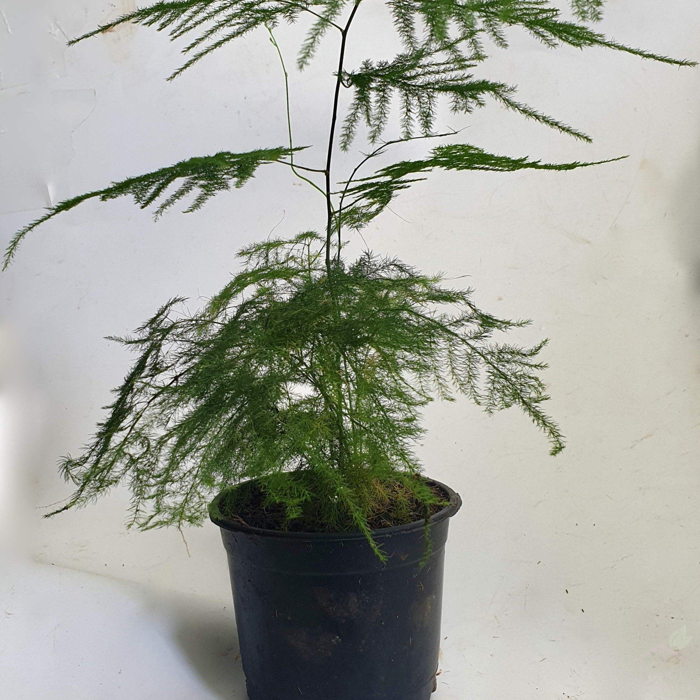 Asparagus Plumosa Fern Buy Plants Online Root Bridges