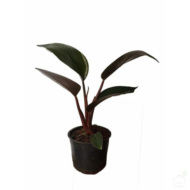 Foliage Plants Black Philodendron Red Emerald