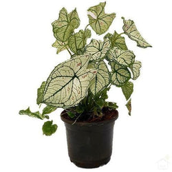 Foliage Plants Caladium 'Strawberry Star'