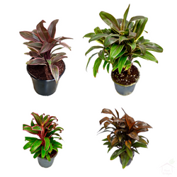 Foliage Plants Cordyline Plant Pack (4 Plants)