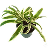 Foliage Plants Dracaena 'Song of India' Plant