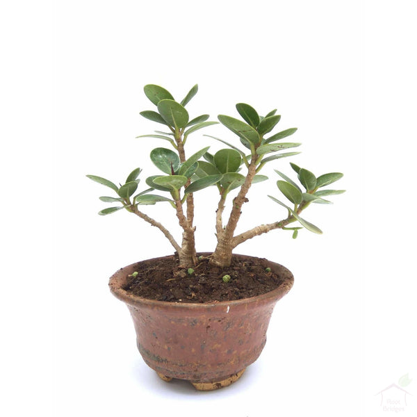 Foliage Plants Ficus Mame Bonsai