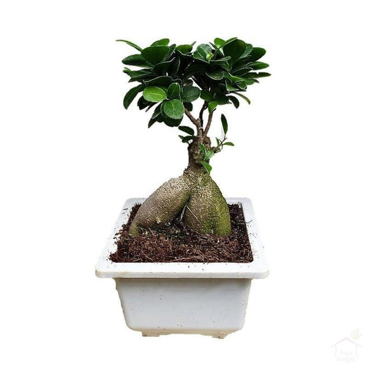 Foliage Plants Ginseng Ficus Medium Bonsai