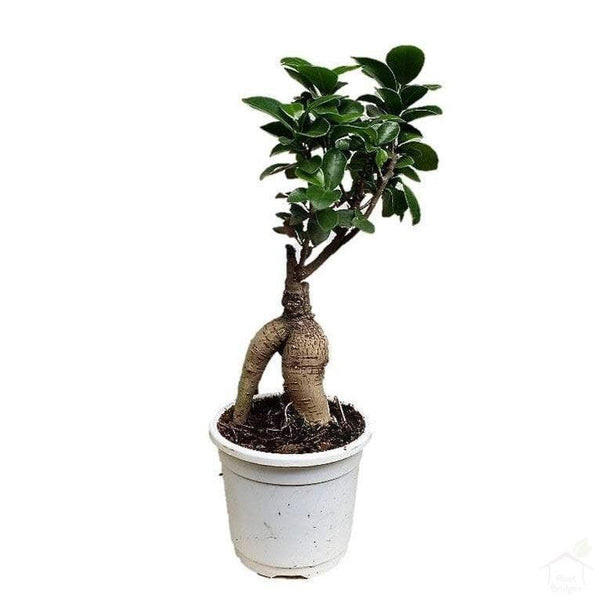 Foliage Plants Ginseng Ficus Small Bonsai