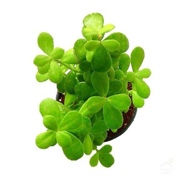 Foliage Plants Green Jade Lucky Feng Shui Plant