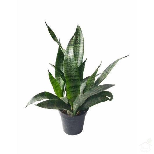 Foliage Plants Green Snake Plant
