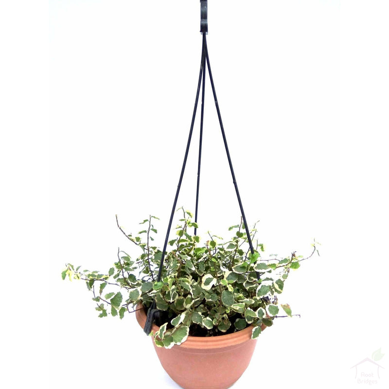 Foliage Plants Hanging Pot Ficus Pumila
