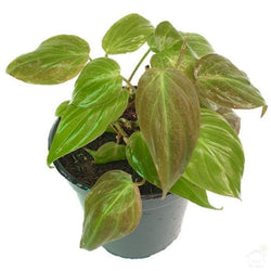 Foliage Plants Philodendron Black Gold