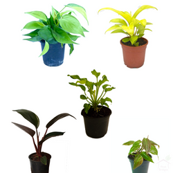 Foliage Plants Philodendron Plant Pack (5 Plants)