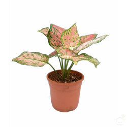 Foliage Plants Pink Aglaonema