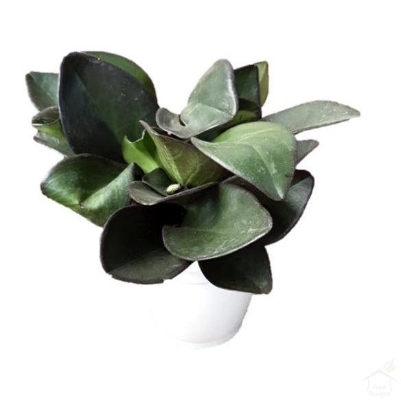 Foliage Plants Red Margin Peperomia Plant
