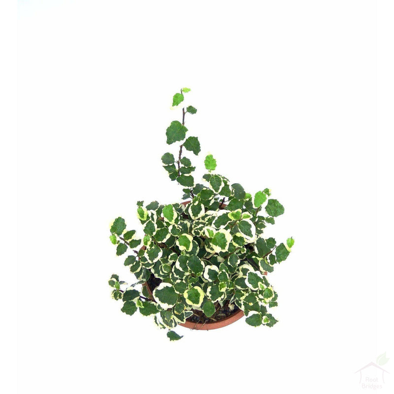 Foliage Plants Regular Pot Ficus Pumila