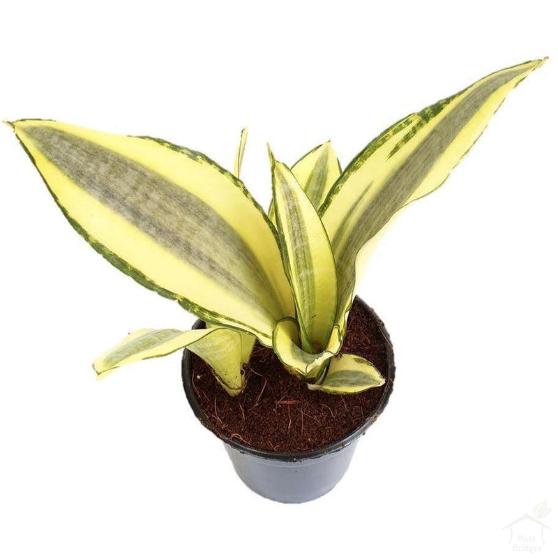 Foliage Plants Snake Plant 'Gold Dust'