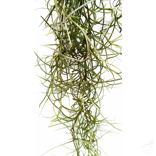 Foliage Plants Spanish Moss Tillandsia Air Plant