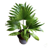 Foliage Plants Table Palm Plant