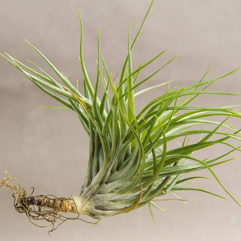Foliage Plants Tillandsia 'Cotton Candy' Air Plant