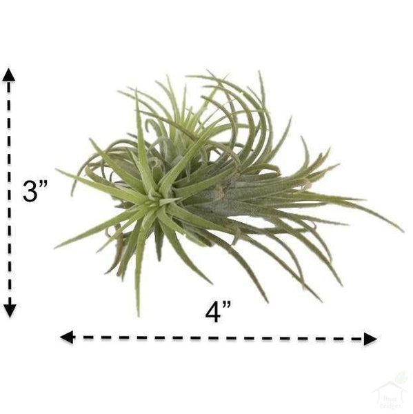 Foliage Plants Tillandsia Sky Air Plant