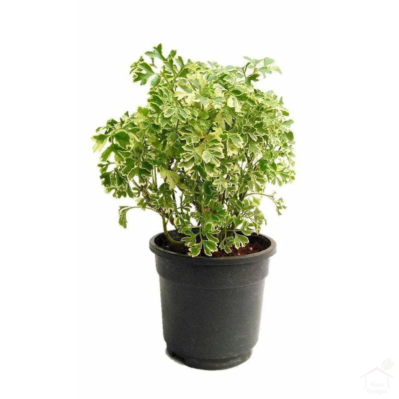 Foliage Plants Variegated Aralia Indoor Plant